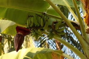Banane u fazi sazrevanja