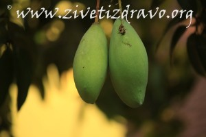 Mango u fazi sazrevanja